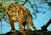 yaguarete